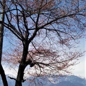 やっと桜咲く!コロナで思う田舎暮らしのメリットとリスク