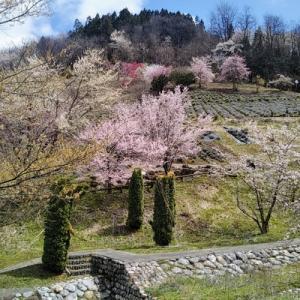 ここは桃源郷?東山夢の郷は見たことない美しい桜の景色
