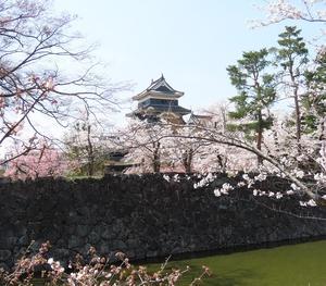 2021信州桜だより 4月3日松本城は超満開です!