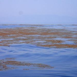 ホンダワラ類の流れ藻