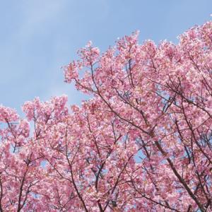 新宿御苑で花見 2020
