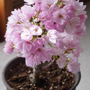 プルメリア6と満開桜
