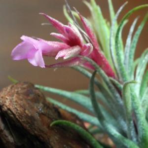 チランジアスークレイの開花