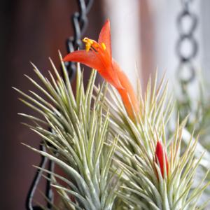 チランジアフンキアナの開花とプルメリアの冬やってくる