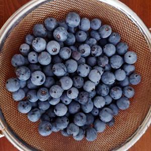 ブルーベリーパウダーブルーの収穫とマフィンづくり