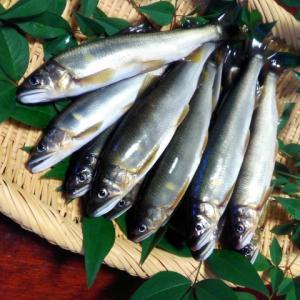 郡上鮎の買取価格は?活魚、時期、サイズ別
