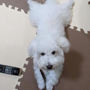 【ビション・フリーゼ】子犬飼い始めたよ!【犬のいる生活のメリットの話】