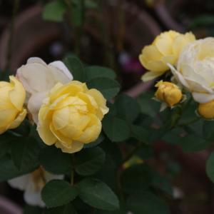 黄系のバラ