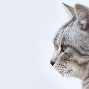 【初心者向け】「ネコ派?」って英語で?☆ねこの図鑑で勉強しました☆