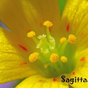 酢漿草いろいろ・・・GS今日のお花