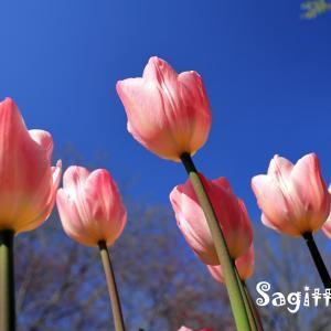 春のアルバム・・・チューリップ