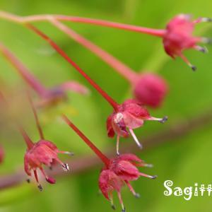 カエデの花とテントウムシ