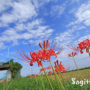水路に咲くヒガンバナ