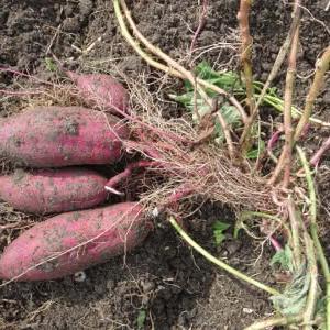 サツマイモの大産地で基腐病が蔓延しているらしい