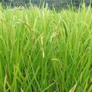 稲作で窒素肥料の過多で冷害が増える