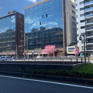京都、今年の桜は来週末が満開らしい
