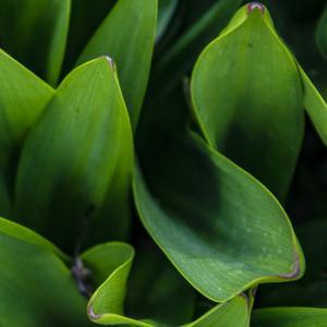 【魔除け植物】コロナ後の時代に合った植物は、コロナ除けおまじない植物よ! その2