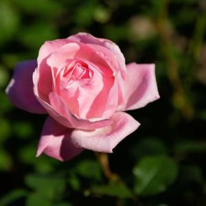 【植物の霊視】植物の中でも薔薇はちょっと要注意ですけれど、植物とのご縁を大切に
