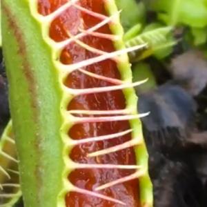 食虫植物に中国で大人気のスナックを食べさせてみたところ……