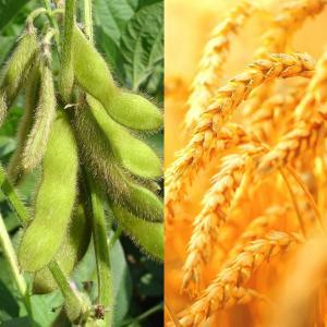 小麦・大豆相場の見通し