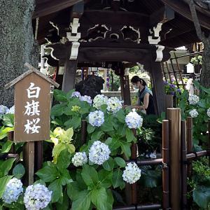 白山神社(東京都文京区)6月が見どころ