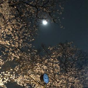 桜のころ🌸