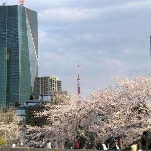 桜の季節 in Japan 🇯🇵