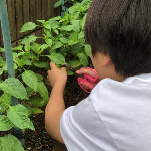 家庭菜園のピーマンの初収穫(≧▽≦)