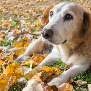 犬の認知症対策、予防法やおすすめサプリ〔老犬介護士監修〕