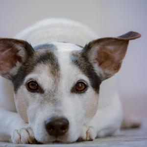 軟便や下痢になりやすい犬の食事〔管理栄養士解説〕