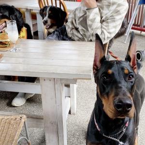可愛いドーベルマン、おはぎのカフェトレーニング