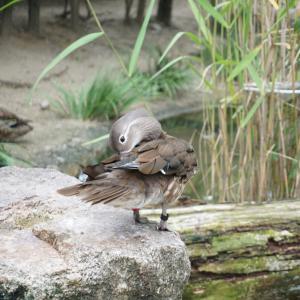 池のほとりでちょっと一休み(京都府 京都市動物園 ヨシガモ)