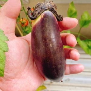 【ベランダ菜園】ついにナス収穫!