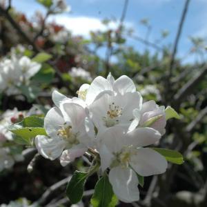 りんごの花と久々の寿司