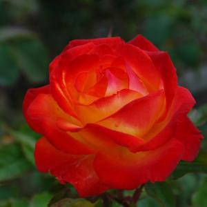 綺麗なバラと、遊んで欲しいモモ