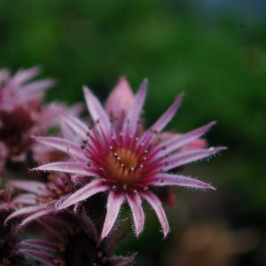 平たい顔族と、初めて見たクモノスバンダイソウの花