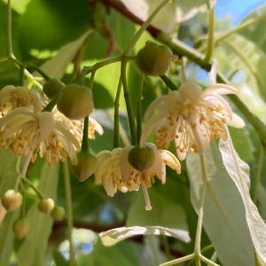 山の中のナツボダイジュの花と、カッコイイおじさん達