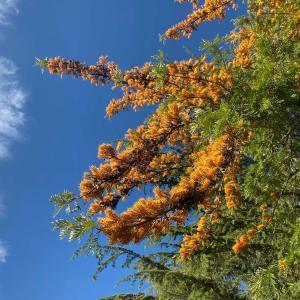 ハゴロモノキの花と、アメリカ人の持つ日本の印象