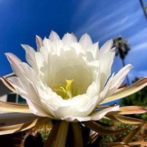 サボテンの花と、一卵性の三つ子ちゃん
