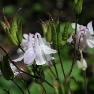 オダマキの花、突然の祝日とマンゴー抹茶プリン