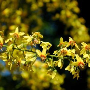 金の雨の木(モクゲンジ)と、ハッピーなモモ