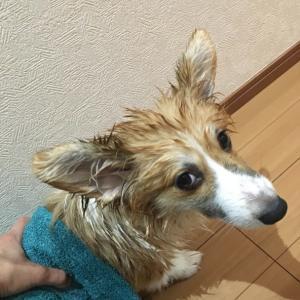 洗われる犬