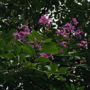 ハノイの初夏の花見散歩(バンラン開花)
