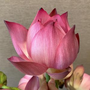今年初の蓮の花束を買う@ハノイ