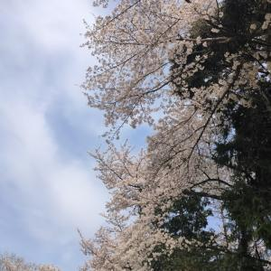 ∞桜のオーラを見たら感動