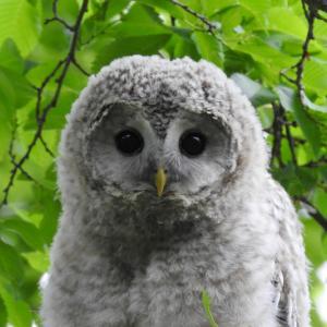 モフモフ可愛い!エゾフクロウの幼鳥