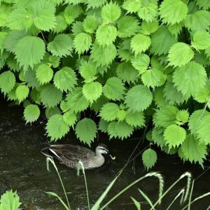 【フォトLOG】鴨がすいすい玉川上水