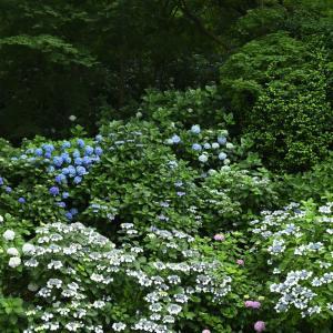 【フォトLOG】高幡不動の紫陽花の群生。Zさんで撮った大きな絵。