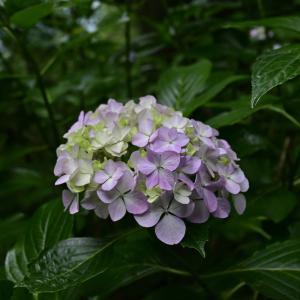 優しいあじさい咲く高尾山でほっこり(2021年6月)