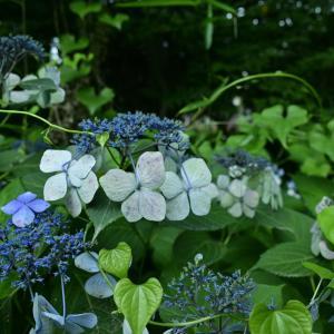 【フォトLOG】ヴィンテージ紫陽花を追いかけて感じた人々の花への愛情
